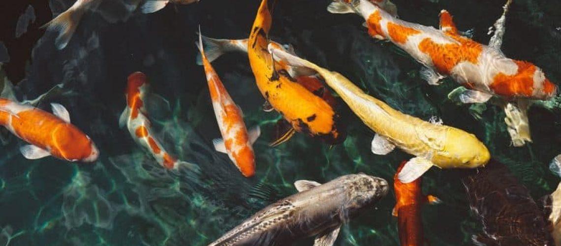 דגי נוי