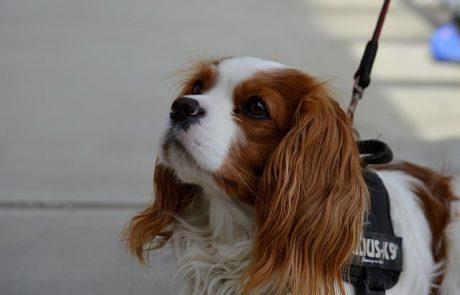 כלב קינג צ'ארלס – קווים לדמותו