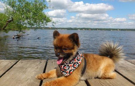 כלב פומרניין- השומר הקטן שלך בבית