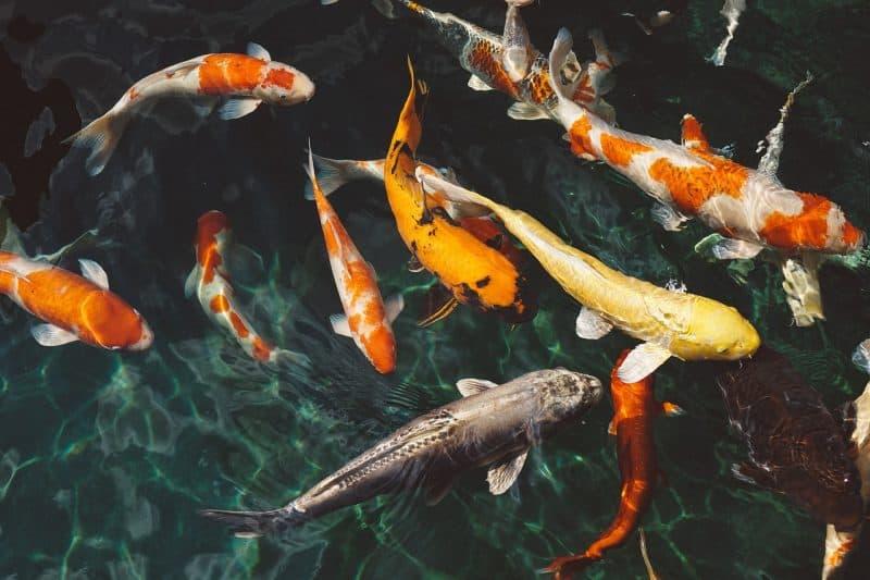 איזה דגי נוי כדאי לרכוש לאקווריום החדש?