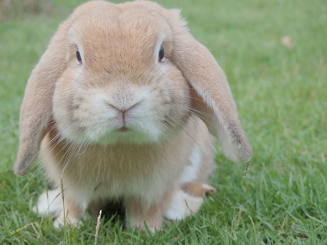 האם אפשר לאלף ארנב?