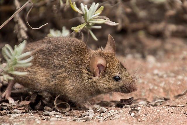 לוכד עכברים בראשון לציון – לוכדים את העכבר במהירות